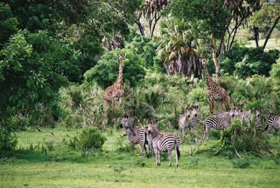 Zèbres et Girafes Réserve nationale du Parc de Selous